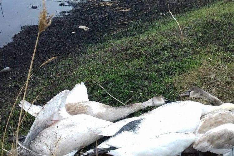 Лісівника і мисливця звинувачують у вбивстві червонокнижних лебедів