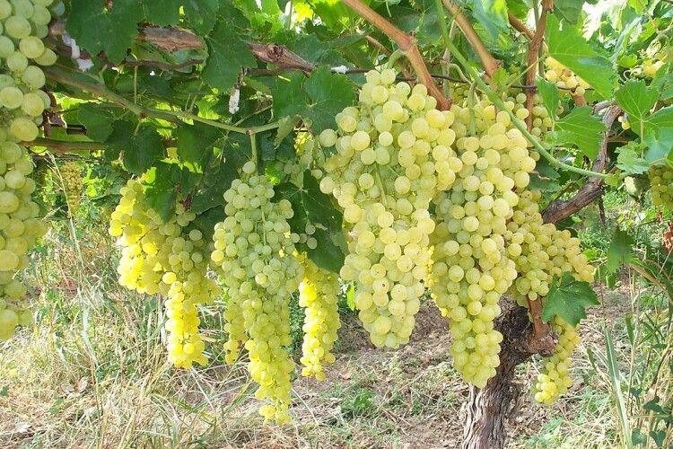 Волинянин розповів, як 13 років займається виноградництвом