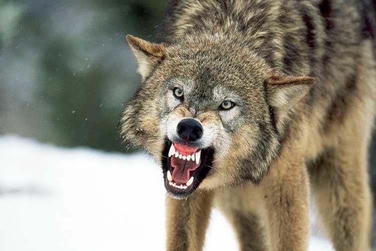 Скажений вовк ледь не загриз бабусю