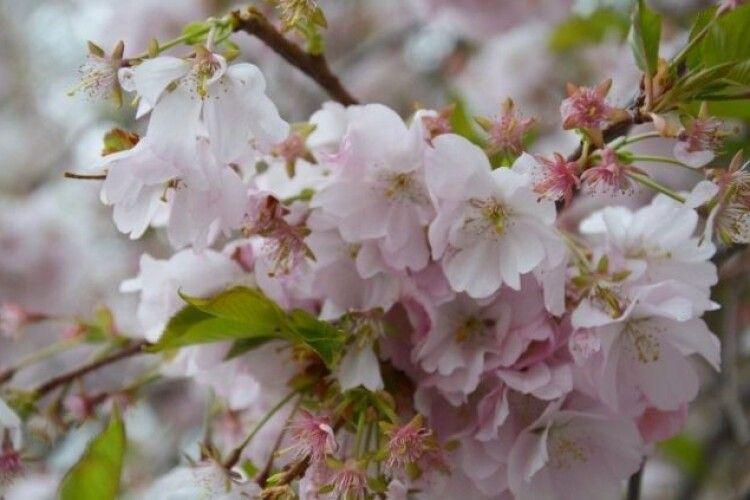 Закарпаття тоне у цвітові сакур та магнолій (Фото)