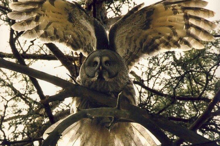 Бородаті сови Волині готуються до зустрічі Геловіну