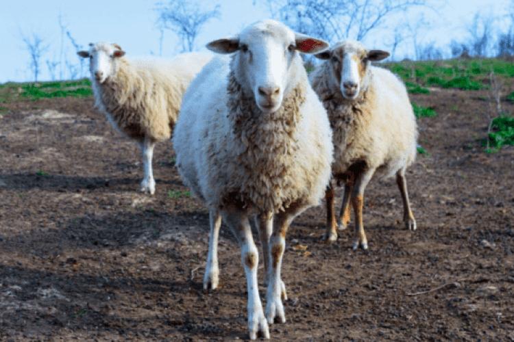 Єдиний в Україні фермер робить сиров'ялену баранину – аналог хамона