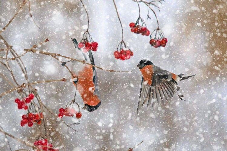 Робота «Снігурі прилетіли» фотографа із Сарн Петра Катеринича здобула золоту медаль Національного фотоконкурсу