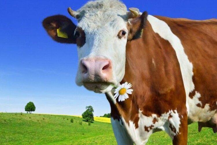 В Україні планують збільшити дотації за утримання великої рогатої худоби