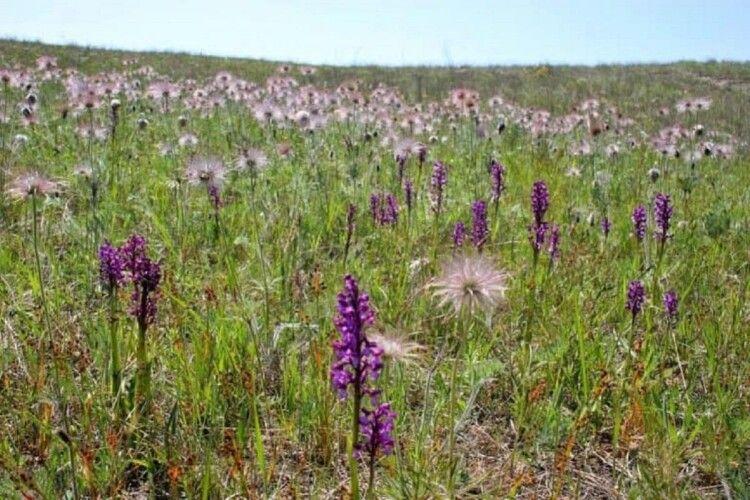 Розквітло найбільше в Україні поле диких орхідей