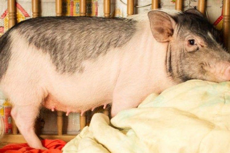 Отримала вирок за вбивство... свині