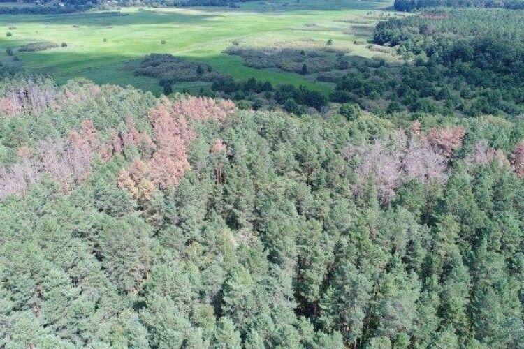 Волинський ліс: площі, уражені короїдом, зменшуються