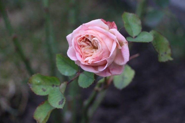 На подвір'ї Свято-Троїцького собору напередодні Нового року ... зацвіли троянди
