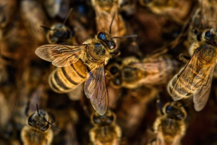 В Україні вивели бджіл, які не жалять людей (Відео)