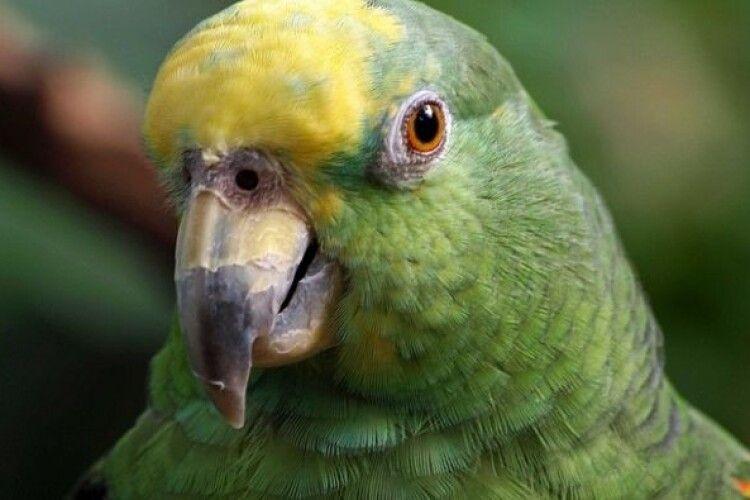 У Нідерландах запроторили до буцегарні папугу, який разом зі своїм власником брав участь у пограбуванні магазину