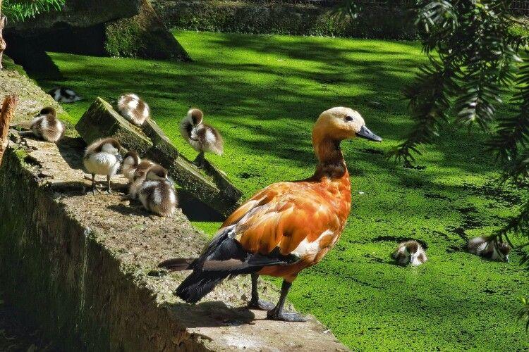 У червонокнижних огарів з Рівненського зоопарку з'явилися пташенята-огаренята (Фото)