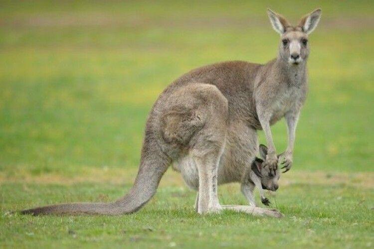 Під виглядом телятини продавали кенгурятину