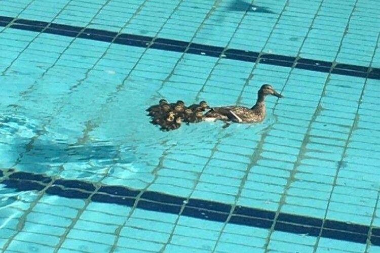 У Львові в басейні спорткомплексу засікли качку із каченятами