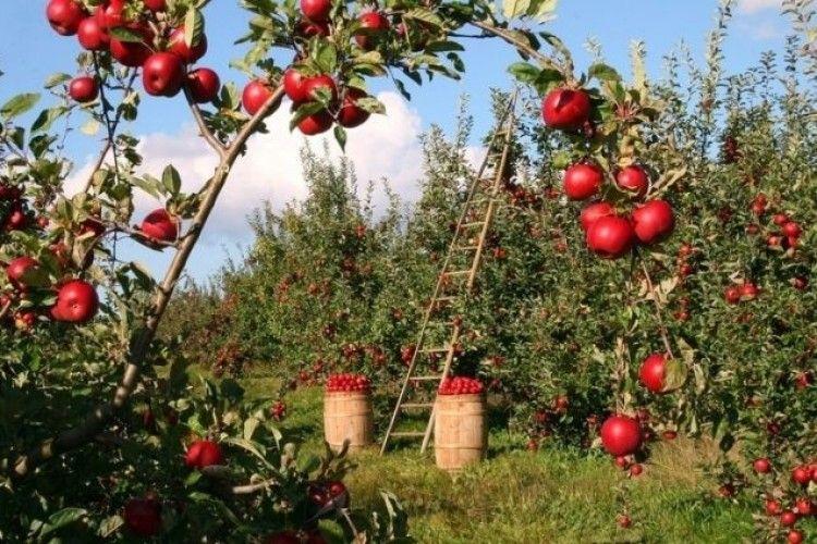 Чому фермери залишають плоди на деревах?