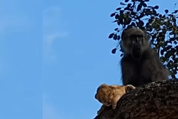 Сцена із мультфільму «Король лев» відбулася в реальному житті (Відео)