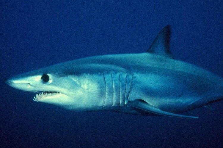 Поплавати з акулою