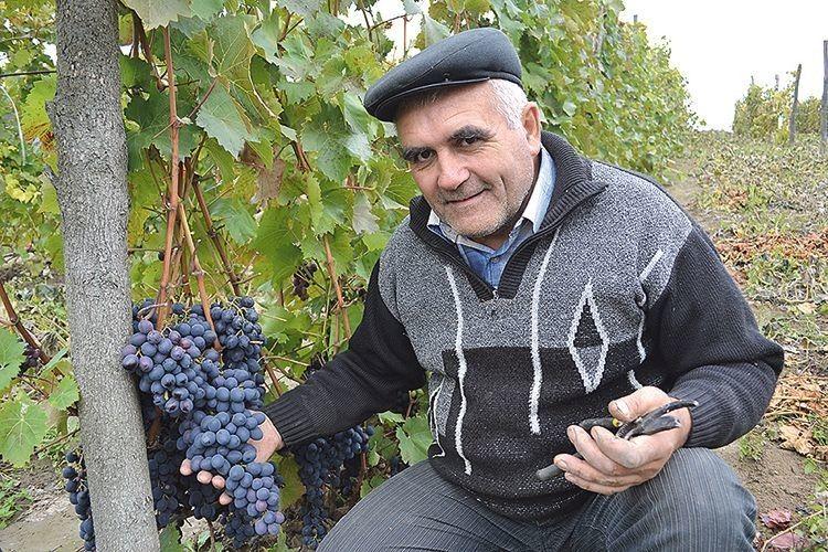 На зиму на виноградному кущі  залишайте не більше 40 бруньок