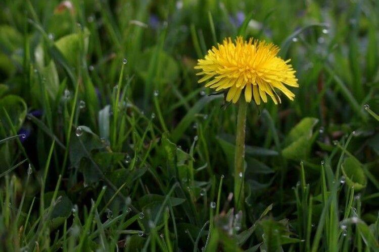Погода на середу, 31 березня: якщо побачите цього дня квітку кульбаби – у квітні ходитимете в майці