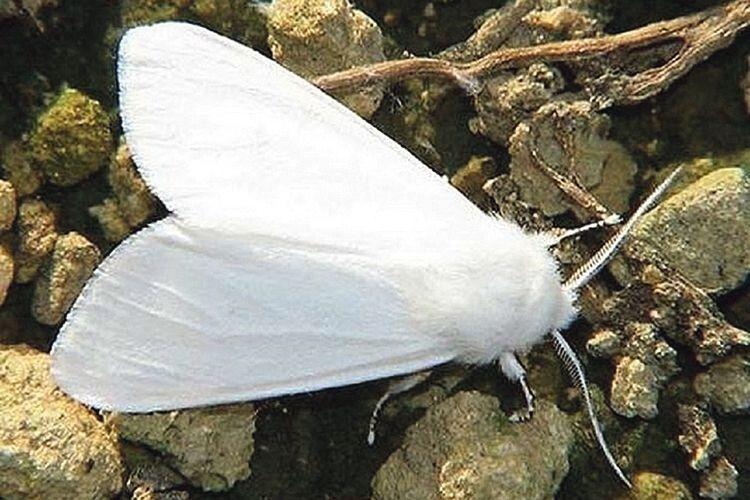 Як боротися  з американським білим метеликом?
