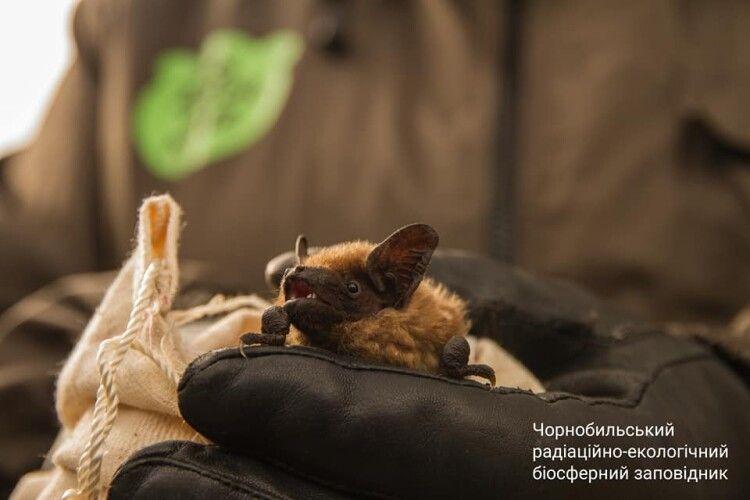 У Чорнобильській зоні випустили на волю рідкісних кажанів (Фото)