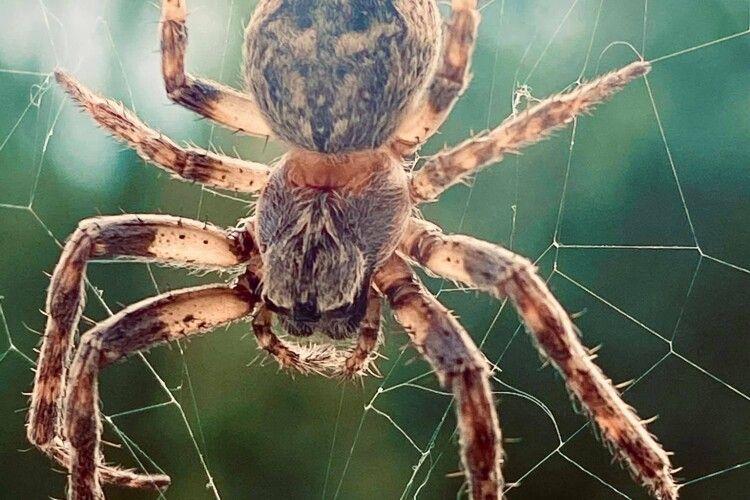 На кухню жительки Рівненщини вже протягом тижня намагається вдертися величезний павучище (Фото)