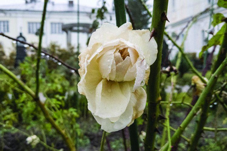 Січень.  Цвітуть... троянди