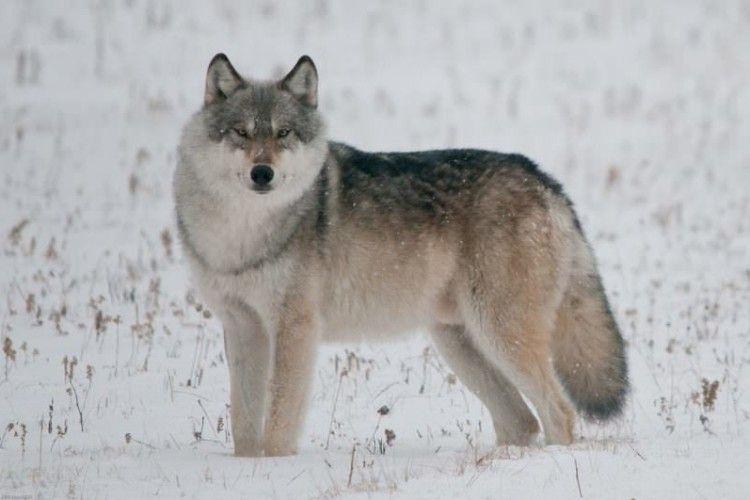 Нацпарк «Цуманська пуща» звинуватив мисливців у хижацькому винищенні вовків