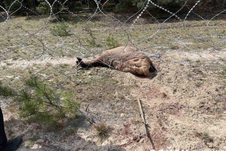 На Волині трагічно загинув олень (Фото)