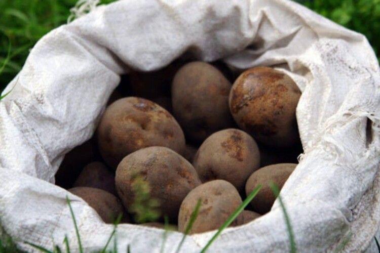 На Волині злодій 5 ночей поспіль виносив картоплю з чужого городу