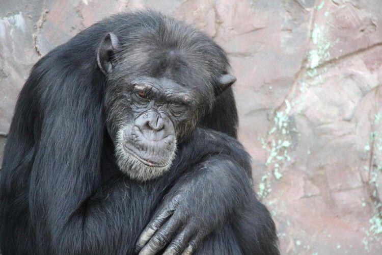В Антверпенському зоопарку самець шимпанзе закохався у відвідувачку (Відео)