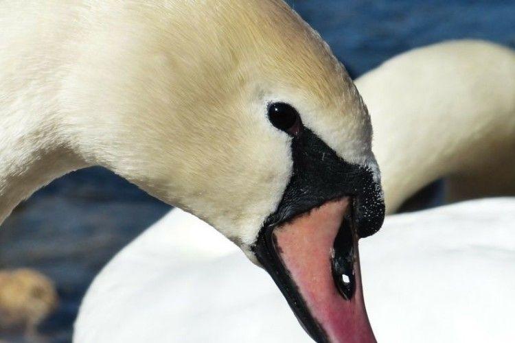 На Рівненщині невідомі познущалися з лебедів