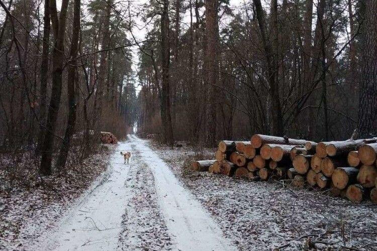 Лісова колізія на Камінь-Каширщині: громада проти вирубки, документи – «в законі»