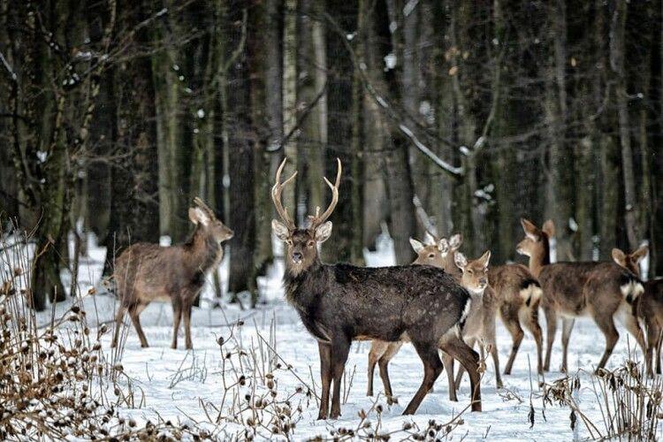 Фотомисливець наклацав у зимовому лісі плямистих оленів (Фото)