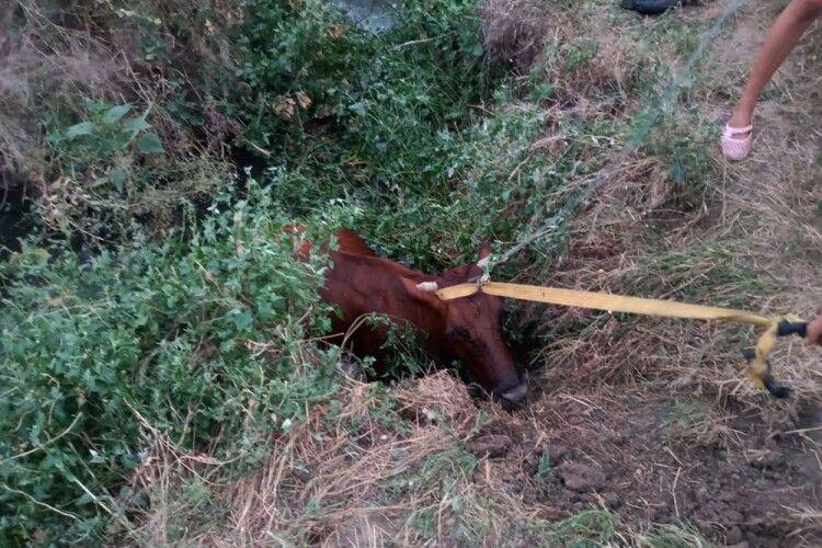 Бійцям ДСНС довелося рятувати корову, яка гепнулася в каналізаційний люк