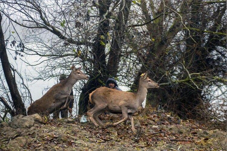 Чотири благородні олені та дюжина ланей переселилися з Рівненщини в Дунайський біосферний заповідник (Фото)