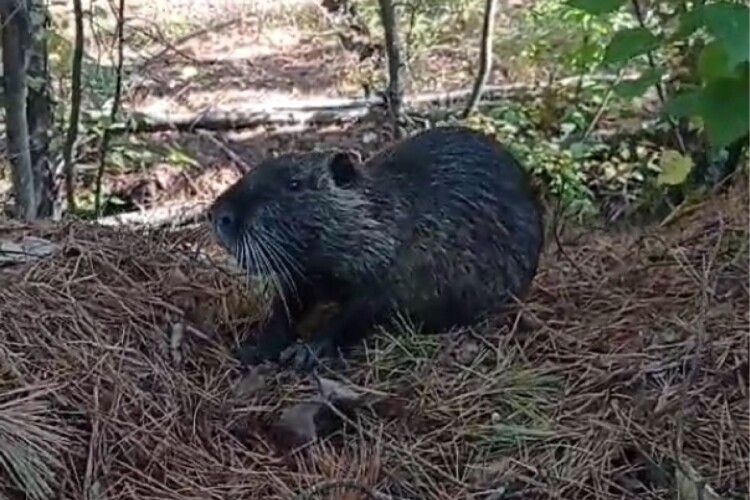 Не чупакабра: під Чорнобилем бачили латиноамериканську звірюку (Фото)