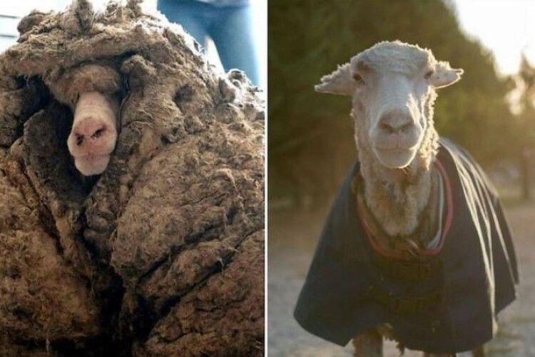 Баран мало не помер через свою 35-кілограмову вовну