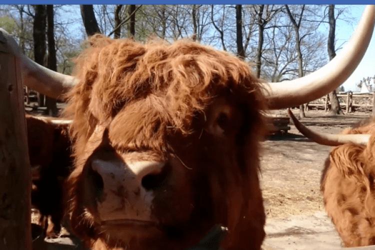 Рівненський бик Гром готується до зустрічі Року Бика (Відео)