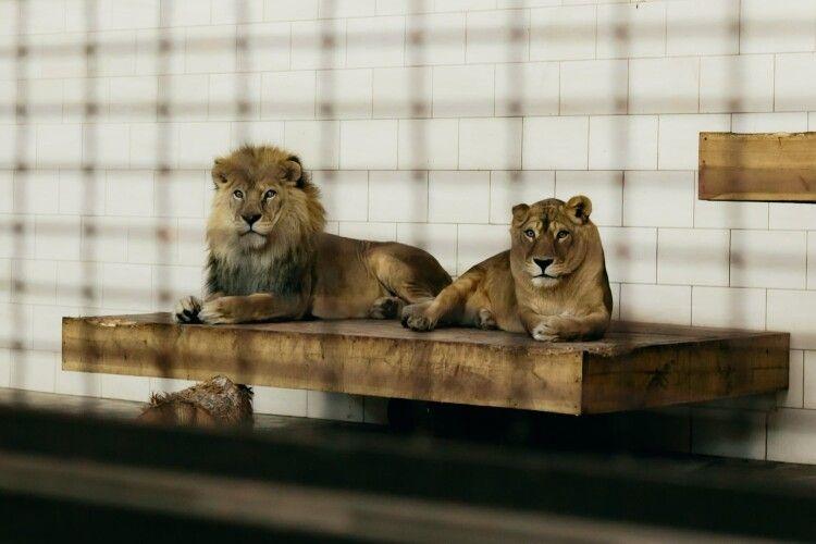 У Луцькому зоопарку помер 17-річний лев (Фото)