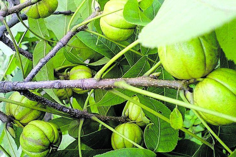 На Вінниччині ростимуть екзотичні горіхи