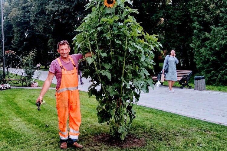 У парку поцупили соняшника–рекордсмена, подарованого Луцьку на День міста (Фото)