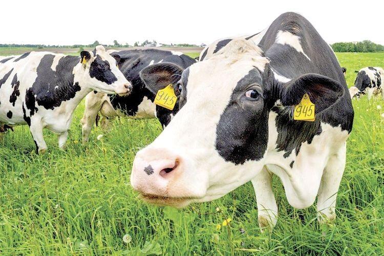 «Масаж» для корови