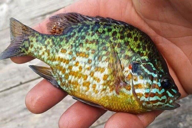 Рибалка спіймав незвичайну рибу (Фото)