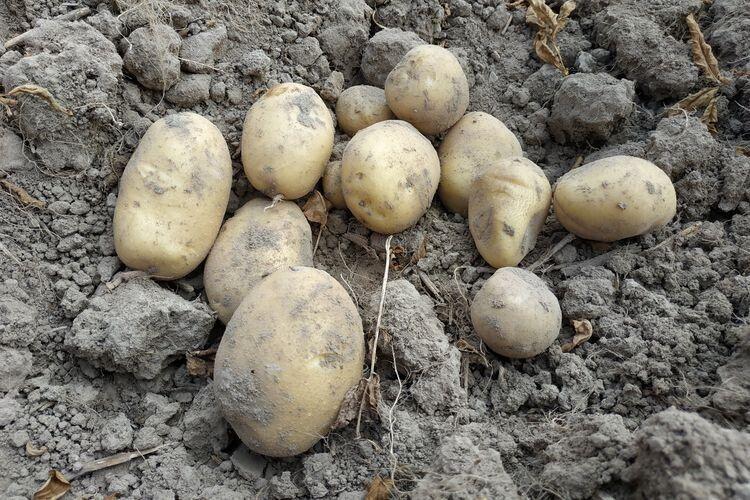 В Україні один із найбільших дефіцитів картоплі у світі