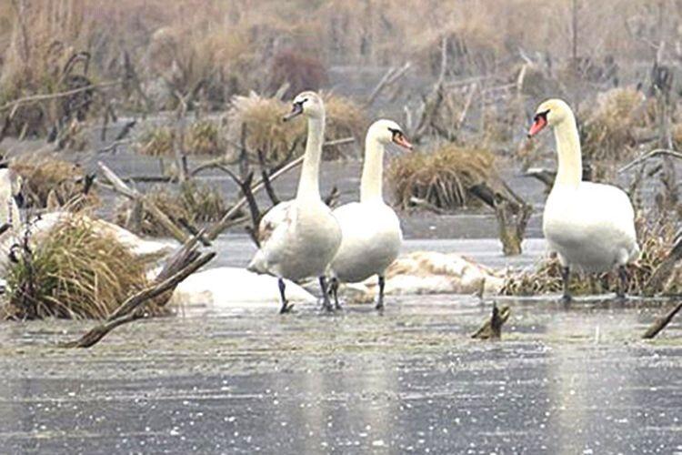 Лебеді-шипуни залишилися зимувати на річці Путилівка