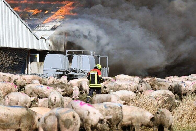 Під час масштабної пожежі на свинофермі загинуло щонайменше 55 тисяч свиней (Фото)