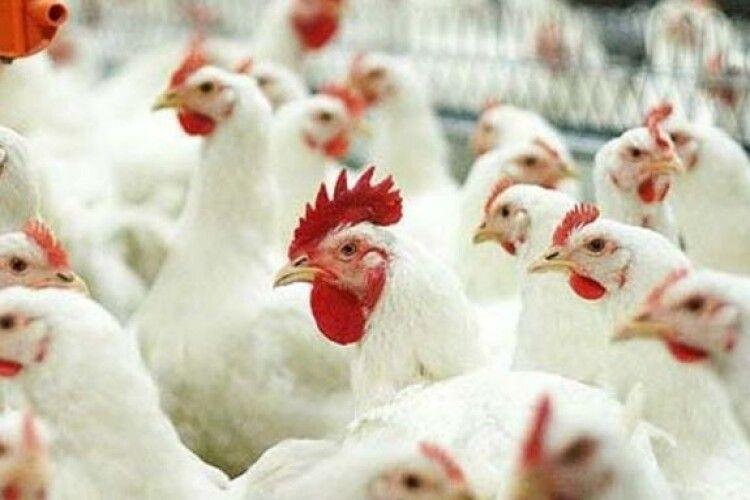 У Холоневі на Горохівщині реконструюють птахокомплекс на 220 000 місць