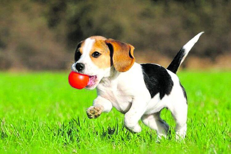 Собаки здатні винюхати рак легенів улюдини