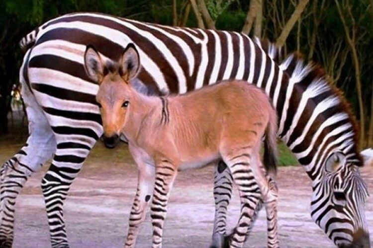 Зебра привела дитинча від осла