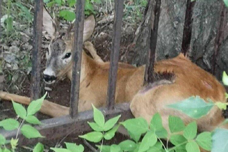 Косулю, яка застрягла в паркані, звільняли зооволонтери (Відео. Фото)